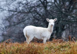 Dimple took this photo of the famous Argonne white deer during his postdoc tenure.